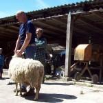 Bei der Schafschur...